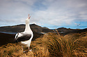 Southern royal albatross (Diomedea epomophora), Campbell Island, New Zealand