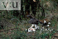 A Matrial Eagle,Polemaetus bellicosus, with European Stork as prey. Masai Mara Game Reserve, Kenya