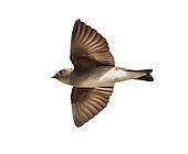 Northern Rough-winged Swallow - Stelgidopteryx serripennis - Adult