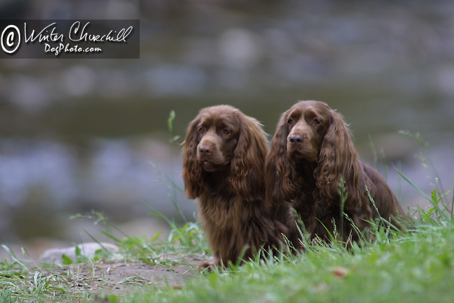 Sussex Spaniel<br /> <br /> <br /> Shopping cart has 3 Tabs:<br /> <br /> 1) Rights-Managed downloads for Commercial Use<br /> <br /> 2) Print sizes from wallet to 20x30<br /> <br /> 3) Merchandise items like T-shirts and refrigerator magnets