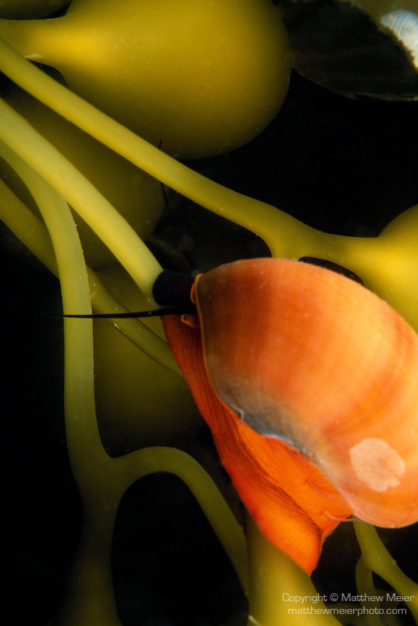 Santa Cruz Island, Channel Islands National Park & National Marine Sanctuary, California; a Norris's Top Snail (Norrisia norrisi) climbs up Giant Kelp, ranges from Prince William Sound, Alaska to San Diego, California , Copyright © Matthew Meier, matthewmeierphoto.com All Rights Reserved
