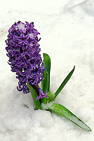 Purple hyacinth, Hyacinthus orientalis,  coming through spring snow