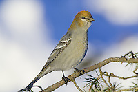 Female Pine Grosbeak perched on the branch of a pine tree