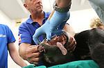 Foto: VidiPhoto<br /> <br /> ARNHEM - Een bijzondere operatie in Burgers' Zoo in Arnhem woensdag. Voor het eerst in haar leven moest de Maleise beer Bola (15) naar de tandarts. Als gevolg van te enthousiast bijtgedrag in hard materiaal begin deze week, brak de zwarte beer een hoektand. Tijdens de narcose bleek dat het dier zelfs een complete gebitsrenovatie moest ondergaan. De gescheurde hoektand werd verwijderd. Andere hoektanden werden geslepen. Twee ondertanden moesten er uit en tot slot werd er tandsteen verwijderd door dierenarts Henk Luten. De drie Maleise beren in het Arnhemse dierenpark zijn afkomstige van de dierentuin in het Duitse Keulen.