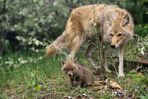 how to get rid of coyote den