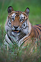 Dominant male Bengal tiger (Panthera tigris) lying in green grass, close-up, dry season, April