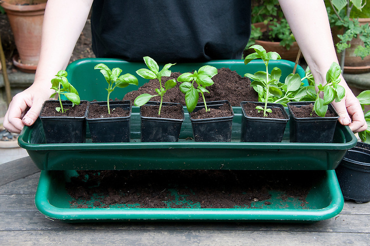 Dividing and re-potting a supermarket-bought basil plant. Image 9 of 10.