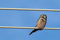 In the winter of 2013-2014, a Northern hawk-owl arrived in Moscow, Idaho, and stayed a couple months.  I was fortunate to see it (my first sighting of this species) one afternoon as I drove through toward Yellowstone, not long before it was hit by a vehicle and killed.