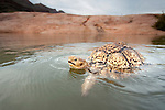 The Leopard Tortoise (Stigmochelys pardalis) is the most common species of tortoise in Namibia. It is also the largest, with up to 50 cm length and 20 kg weight. It is especially active during the rainy season when it sometimes encounters water holes and small temporary lakes. Surprisingly for this animal adapted to semi-arid conditions, it is a very efficient and avid swimmer.