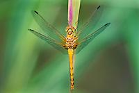 362750012 a wild female spot-winged meadowhawk sympetrum signiferum perches on a grass stem near empire creek las cienegas natural area santa cruz county arizona united states