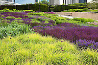 Summer tapestry of bright green foliage of Autumn Moor Grass Sesleria autumnalis with purple river of blue flowers of Meadow Sage (Salvia x sylvestris) and Allium in Lurie Garden Millenium Park, Chicago