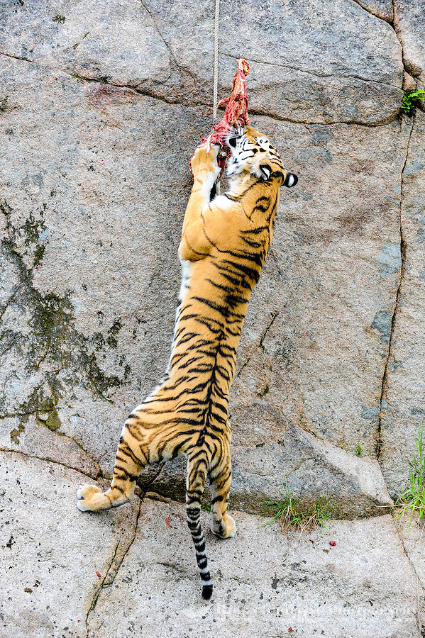 Sweden. Nordens Ark (Ark of the North) is a zoo in Bohuslän. The Amur tiger is also known by the name Siberian tiger.