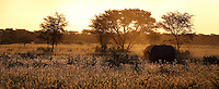 Three whiet rhinos peacefully grazing at dusk in typical Kalahari Pan landscape.