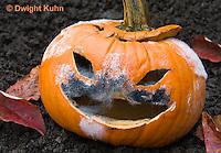 DC09-638z   Jack-o-Lantern Pumpkin placed in garden after Halloween. Molds growing on face,  Black Bread Mold, Rhizopus stolonifer