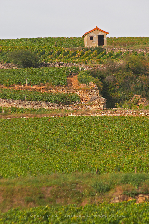 Vineyard. Pommard, Cote de Beaune, d'Or, Burgundy, France