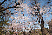 Looking up at branches filled with cherry blossom at Higashi-Gyoen, the East Gardens of the Imperial Palace in Tokyo