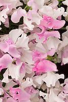 Sweetpeas Lathyrus odoratus 'Promise'  new 2007 variety in pink