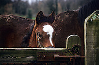 A new born racehorse peaks over a gate in rural Ireland.