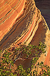 A Greenleaf manzanita (Arctostaphylos patula) curls around the swirling Navajo sandstone in South Coyote Buttes