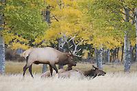 Elk, Wapiti, Cervus elaphus, bull with aspentrees with fallcolors, Rocky Mountain National Park, Colorado, USA