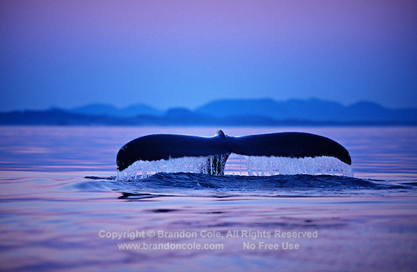 mi72. Humpback Whale (Megaptera novaeangliae), tail flukes after sunset. Alaska, USA, Pacific Ocean..Photo Copyright © Brandon Cole. All rights reserved worldwide.  www.brandoncole.com..This photo is NOT free. It is NOT in the public domain. This photo is a Copyrighted Work, registered with the US Copyright Office. .Rights to reproduction of photograph granted only upon payment in full of agreed upon licensing fee. Any use of this photo prior to such payment is an infringement of copyright and punishable by fines up to  $150,000 USD...Brandon Cole.MARINE PHOTOGRAPHY.http://www.brandoncole.com.email: brandoncole@msn.com.4917 N. Boeing Rd..Spokane Valley, WA  99206  USA.tel: 509-535-3489