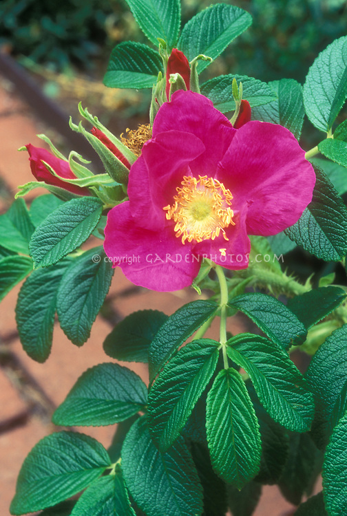 Rosa rugosa with pretty foliage and nice fragrance of bloom