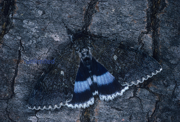 Blue Underwing Moth (Catocala fraxini), Family Noctuidae, England.