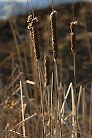 Cattails bask in the sun of an early spring ready  to spread their seeds
