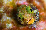 A secretary blenny (Acanthemblemaria maria) peering from it's tube, St Vincent