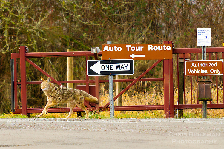 A coyote is walking down a gravel road with an one-way road sign pointing in the direction the coyote is walking in a humorous moment as seen in the Ridgefield National Wildlife Refuge.
