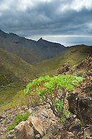 Tabaiba roja o majorera (Euphorbia atropurpurea) in the Barranco de Masca, West Tenerife, Tenerife Island, Canary Islands, Spain.