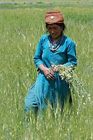 Jeune femme ladahie dans un champs bordant le Zanskar. L'rrigation permet de transformer cette haute vallée désertique en édène verdoyant. Ladakh Himalaya Inde. Photo : Vibert / Actionreporter.com