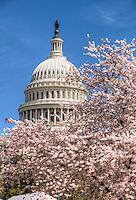 United States Capitol Building Cherry Blossoms Washington DC