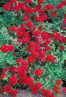 Annual red flowers Verbena 'Claret'