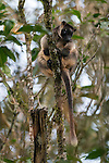 Lumholtz's Tree-kangaroo (Dendrolagus lumholtzi) high up on a tree.  The Lumholtz's tree-kangaroo is primarily a leaf eater, but also occasionally consumes fruits and flowers from quite a wide variety of native rainforest trees. It is also known to feed on the leaves of wild tobacco and lantana, both invasive weeds. A heavy-bodied tree-kangaroo is found in rain forests of the Atherton Tableland.  Its status is classified as least concern by the IUCN, although local authorities classify it as rare. It is named after the Norwegian explorer Carl Sofus Lumholtz. It is the smallest of all tree-kangaroos, with males weighing an average of 7.2 kg (16 lbs) and females 5.9 kg (13 lbs).[5] Its head and body length ranges from 480–650 mm, and its tail, 600–740 mm.[6] It has powerful limbs and has short, grizzled grey fur. Its muzzle, toes and tip of tail are black.