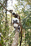 Wild Cotton-top Tamarins in a line (Saguinus Oedipus) on a branch in the dry tropical forest of Colombia<br />