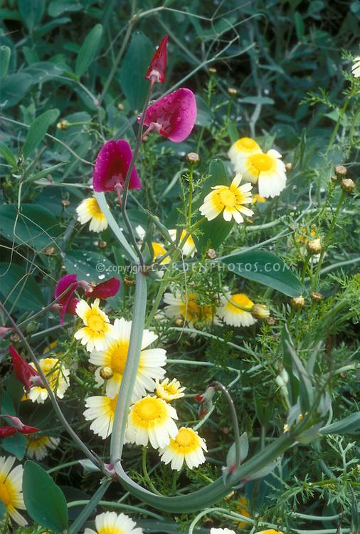 Layia platyglossa + Lathyrus sweetpeas in Woodnewton garden, annuals flowers mix
