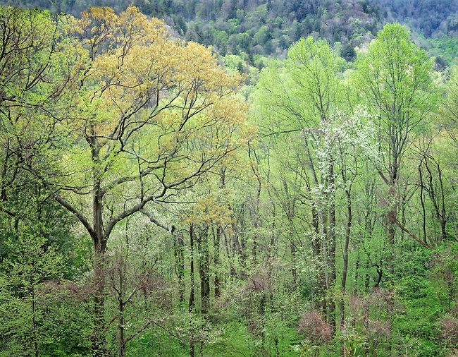 Spring Forest in the Great Smokey Mts. Tennessee