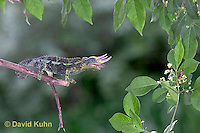 "1105-07xx  Jackson chameleon ""Shooting Out Tongue to Catch Insect"" - Chamaeleo jacksonii - © David Kuhn/Dwight Kuhn Photography [See 1105-07xx, 1105-07yy, 1105-07zz for Complete Tongue Flicking Sequence]"