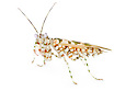 Spiny Flower Mantis {Pseudocreobotra wahlbergii}. Captive, originating from Africa.
