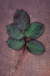 Leaf or Rose or Rosa Sallys consisting of five burgundy red and green leaflets lying on scuffed dark red board