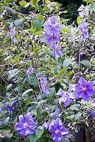 Clematis ' Perle d'Azur' blue flowered vine with variegated Euonymus, two vines together