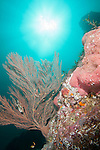 Sea of Cortez, Baja California, Mexico; a large Gorgonian (Muricea sp.) sea fan growing alongside several pink barrel sponges on a rocky reef, with a sun burst overhead