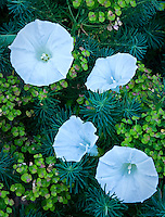 Morning Glory - Ipomoea lacunosa