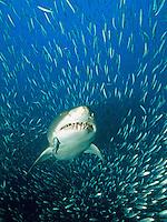 carcharias taurus, sand tiger shark, gray nurse shark, Sandtigerhai, North Carolina, USA, Atlantic Ocean