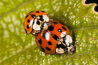 Multicolored Asian Lady Beetle (Harmonia axyridis) - Mating Pair, West Harrison, Westchester County, New York