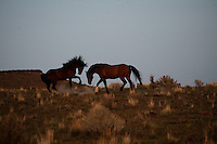 A harem stallion is challenged by a younger stud in South Steens Mountain in Oregon.  The wild horse herd lives in the high desert country with extremely rocky surfaces divided by deep canyons, rim rocks and plateaus.