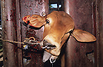 Australia, Queensland. Cattle are dehorned and branded in this bloody stocks. OZ the Land of Cows and cattle. 2001.'MEAT' across the World..foto © Nigel Dickinson