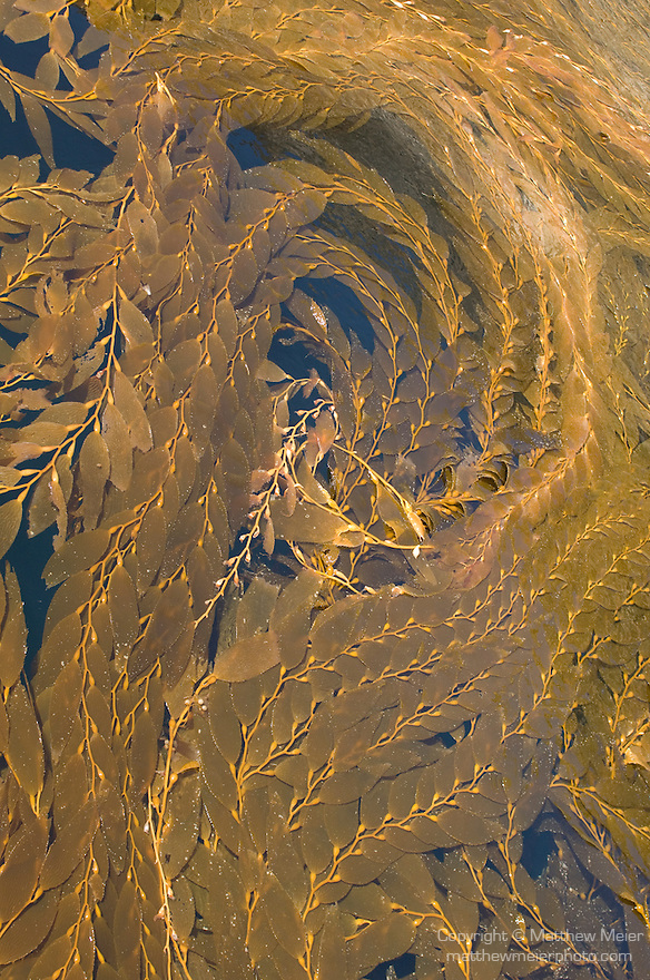 Catalina Island, Channel Islands, California; Giant Kelp (Macrocystis pyrifera) covers the water's surface in a secluded cove forming geometric patterns and shapes