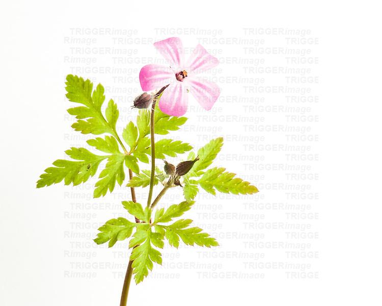 Single flower on white background
